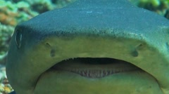 Whitetip reef shark close up Stock Footage