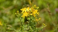 St. John's wort, medicinal plant Stock Footage