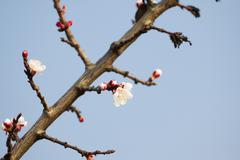 Apricot during sprouting - spring awakening of nature. - stock photo
