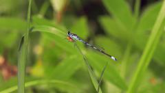 Damselfly Sitting on Grass in the Wind 4k Stock Footage