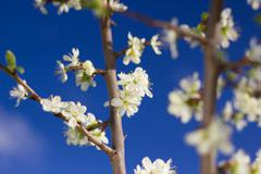 Pear blossom on a background of blue sky (Shallow DOF). Stock Photos