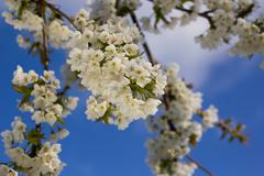 Cherry blossoms on a background of blue sky. Stock Photos