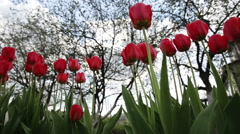 Tulip red Stock Footage