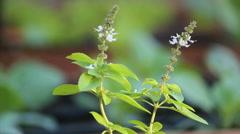 Kitchen garden.  Basil. Vegetable garden plant. Organic. Healthy food. Stock Footage