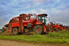 Sugar beet harvest - stock photo