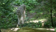 Lynx on the move Stock Footage
