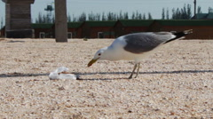 Lots of seagulls on the beach eating a meal and shout at each other on the Stock Footage