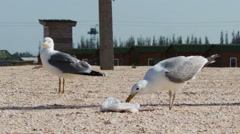 Stock Video Footage of Lots of seagulls on the beach eating a meal and shout at each other on the