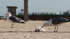 Lots of seagulls on the beach eating a meal and shout at each other on the - stock footage