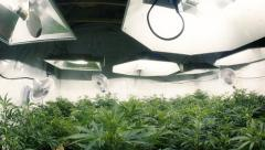 Pan Down to Indoor Marijuana Plants Fisheye Lens Stock Footage