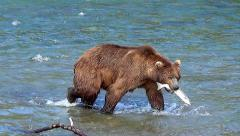 Large Brown Bear Carries a Salmon to Shore to Eat It Stock Footage