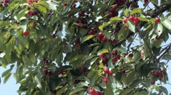 Cherry tree with ripe cherries Stock Footage