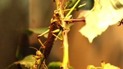 Grasshoppers in a terrarium Stock Footage