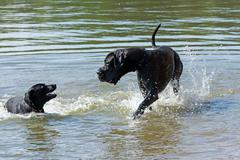 Great Dane is playing in the water Stock Photos