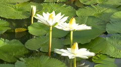 Bee in lotus and Bee group working find pollen on lotus Stock Footage