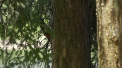 Woodpecker standing on tree cutters on the bark of a tree in slow motion - stock footage