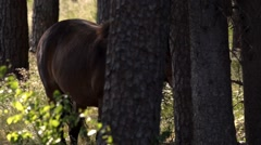 Exmoor-Pony in forest - germany Stock Footage