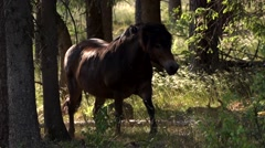 Exmoor-Pony in forest - germany - stock footage
