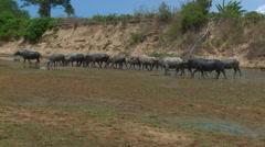 Water buffalo herd Stock Footage