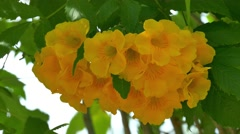 Golden trumpet tree, Thailand Stock Footage