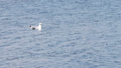 Seagull sitting on the water and floats on the waves of the sea Stock Footage