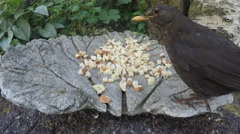 Blackbird, Turdus merula eating breadcrumbs from a bowl Stock Footage