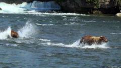 Larger Formidable Brown Bear Chases Smaller One in River - Slow Motion 40% Stock Footage