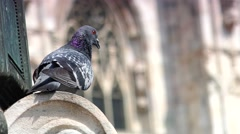 Pigeons near Milan Cathedral Duomo Milano, 4k,real time Stock Footage