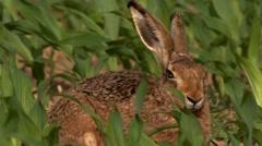 European hare in springtime Stock Footage
