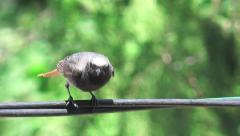 Bird sparrow Passerine Anabacerthia Wedge-billed woodcreeper Stock Footage