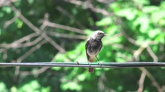 Bird sparrow Passerine Anabacerthia Wedge-billed woodcreeper, 4k Stock Footage