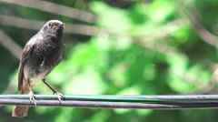 Bird sparrow Passerine Anabacerthia Wedge-billed woodcreeper - stock footage