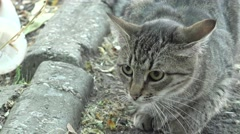 head of gray cat looking around, animal, 4к - stock footage