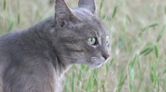 Head of gray cat in anticipation of danger creeps, animal, 4к Stock Footage