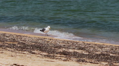 Seagull standing on the beach near the shore of the sea coast Stock Footage