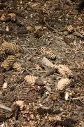 Dry pine cone - stock photo
