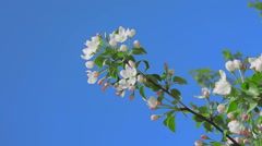 Apple blossom one branch Stock Footage