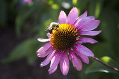 bumble bee working hard - stock photo