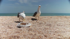 Gulls on the beach flock together for food, shouting at each other and eat bread Stock Footage
