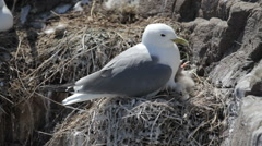 Kittiwake and chicks nesting on cliff face, Farne Islands, England - stock footage