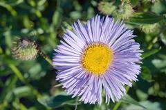 Stock Photo of Aster flower in the garden during the summer
