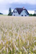 House in a field of ripe grain with flowers - stock photo