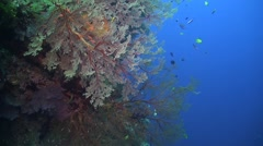Coral reef with huge colorful sea fan Stock Footage