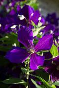 Purple clematis - stock photo