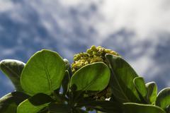 Heliotrope berrie - stock photo