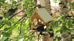 Pigeons around bird feeders Stock Footage