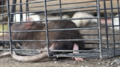 Mouse Trapped Stock Footage
