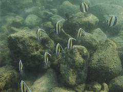 School of Moorish idol Stock Photos