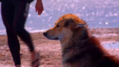 Dog sitting on a beach and enjoying the cool wind Stock Footage