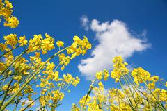 Rapeseed flowers and blue sky Stock Photos